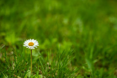 Natural daisy background Stock Image