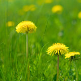 Natural Dandelions in Spring Royalty Free Stock Photography