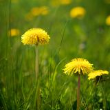Natural Dandelions in Spring Royalty Free Stock Photo