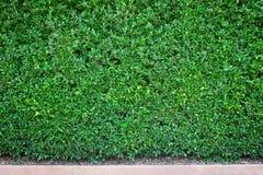 Natural dark green wall of backgroud.  stock photo