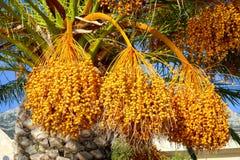 Natural dates in Makarska Royalty Free Stock Images