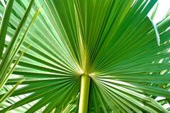 Natural de hoja de palma del azúcar foto de archivo libre de regalías