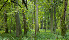 Natural deciduous forest. Old trees in natural forest at Bialowieza National Park, strictly protected area,end of summer royalty free stock photos