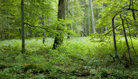 Natural deciduous forest. Old natural forest at Bialowieza National Park, strictly protected area,end of summer Stock Photos