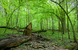 Natural deciduous forest in spring. Natural deciduous forest landscape with dead tree and young hornbeam trees in background Royalty Free Stock Image