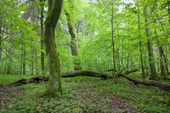Natural deciduous forest at spring. Natural deciduous forest landscape witjh dead tree and young hornbeam trees in background Royalty Free Stock Photo