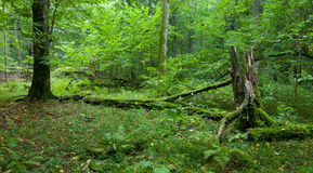 Natural deciduous stand of Bialowieza Forest Royalty Free Stock Images