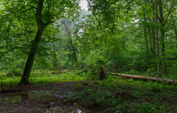 Natural deciduous stand of Bialowieza Forest. Natural deciduous stand with some old trees and ferns just heavy rain after,Bialowieza Forest,Poland,Europe Stock Photo