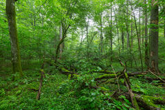 Natural deciduous stand of Bialowieza Forest. Natural deciduous stand with some old trees and ferns just heavy rain after,Bialowieza Forest,Poland,Europe Stock Image