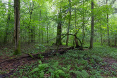 Natural deciduous stand of Bialowieza Forest. With some old trees and ferns,Bialowieza Forest,Poland,Europe Stock Image