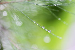 Natural Dew Drop On Leaf. Tree pine royalty free stock images