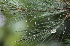 Natural dew drop on leaves. Tree pine stock photos