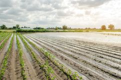 Natural disaster on the farm. Flooded field with seedlings of pepper and leek. Heavy rain and flooding. The risks of harvest loss. The flood. Agriculture royalty free stock image