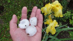 Natural disasters, hail, Injured plants stock photo