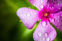 Natural drops on Periwinkle or Vinca Minor. Fresh natural drops over Periwinkle Vinca minor a summer flower after heavy rain Royalty Free Stock Photo