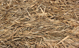 Natural dry reed background Royalty Free Stock Photo