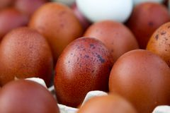 Natural ecological eggs of brown and blue color Royalty Free Stock Photo