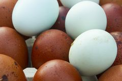 Natural ecological eggs of brown and blue color Royalty Free Stock Image