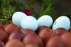 Natural ecological eggs of brown and blue color Royalty Free Stock Images