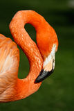 Natural eight. Figure of an eight done with de neck of a pink flamingo Royalty Free Stock Photos