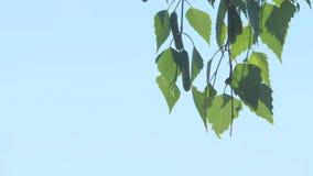Natural el fondo del abedul - las hojas verdes jovenes del cierre del árbol de abedul para arriba en el abedul de Rusia del bosqu almacen de metraje de vídeo