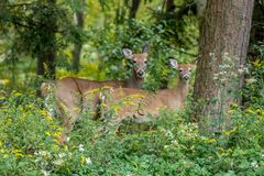Natural environment of doe and her fawn in a forest. stock image