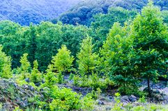 Woodland And Forest Of Turkish Countryside Royalty Free Stock Photo