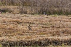 European brown hare jackrabbit lepus europaeus and deer in ree. Natural european brown hare jackrabbit lepus europaeus and deer in reed Royalty Free Stock Image