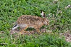 European brown hare jackrabbit lepus europaeus in green meadow. Natural european brown hare jackrabbit lepus europaeus in green meadow Royalty Free Stock Image