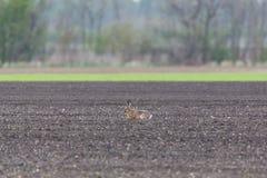 European brown hare jackrabbit lepus europaeus sitting in agra. Natural european brown hare jackrabbit lepus europaeus sitting in agrarian field Stock Images