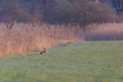 Natural european brown hare jackrabbit lepus europaeus  sittin. G in green meadow Stock Photo