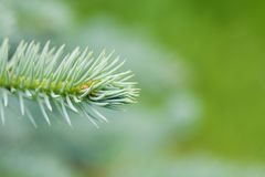 Natural evergreen spruce branch tree. Beautiful macro view needles, soft green background. copy space photo Stock Images