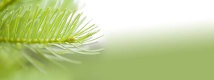 Natural evergreen spruce branch tree. Beautiful macro view needles, soft green white background. copy space photo. Royalty Free Stock Photo