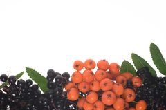 Natural fall frame (border of rowan-berry and elde. Natural autumn order of rowan-berry and elderberry on white background Stock Image