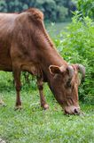 Natural feeding brown cow on a summer pasture green grass Royalty Free Stock Photo