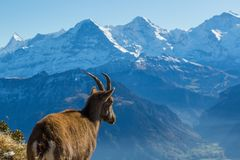 Natural female alpine ibex capricorn looking at Eiger, Monch, Jungfrau in bernese alps. Switzerland royalty free stock images