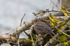 Female blackbird turdus merula sitting in cut branches on ground stock photos