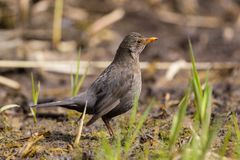 Female blackbird turdus merula standing in short growing reed stalks stock images