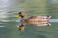 Natural female mallard duck anas platyrhynchos swimming. With reflections Royalty Free Stock Photo