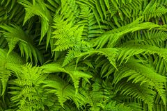 Natural fern background royalty free stock photography