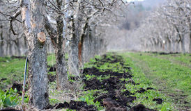 Natural fertilizing an apple orchard in spring. Image of a natural fertilizing an apple orchard in spring Royalty Free Stock Photos