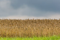 Natural field of golden wheat with dark sky and clouds Royalty Free Stock Photo