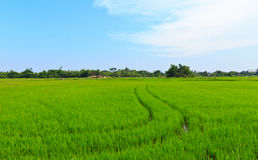 Natural field of rice. Royalty Free Stock Photo