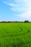 Natural field of rice. Stock Photography