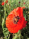 Natural field of wildflowers poppy. Natural field of wildflowers with snails, red poppies, yellow margaret and some other particular flower stock image