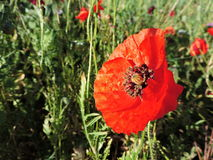 Natural field of wildflowers poppy two. Natural field of wildflowers with snails, red poppies, yellow margaret and some other particular flower royalty free stock image