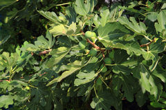 Natural fig plants Stock Photo