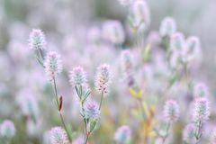 Free Natural Floral Background. Close Up View Of Wild Summer Meadow Grass With Soft Fluffy Pink Purple Heads. Royalty Free Stock Images - 144292319
