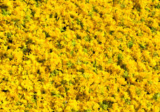 Natural floral background of Rape flowers Royalty Free Stock Photo