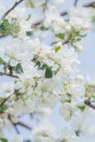 Natural floral background of spring apple tree branch in full bloom. And blue sky royalty free stock images